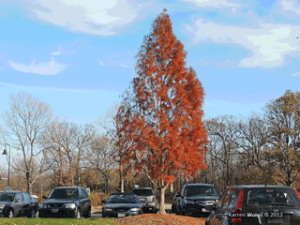 Shawnee Bald Cypress